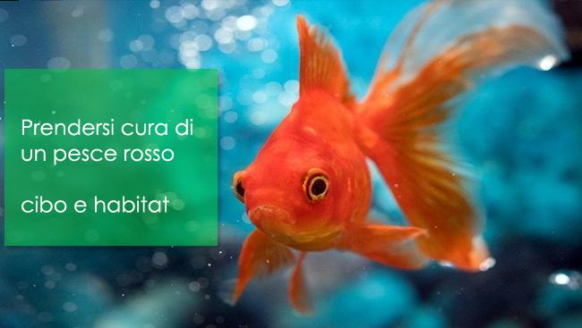 Come prendersi cura di un pesce rosso