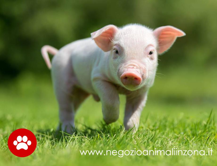 Cosa sapere prima di adottare un maialino nano