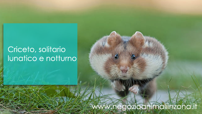 Criceto animale solitario e notturno