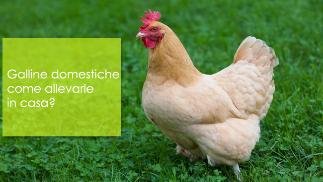 Galline domestiche come allevarle in casa?