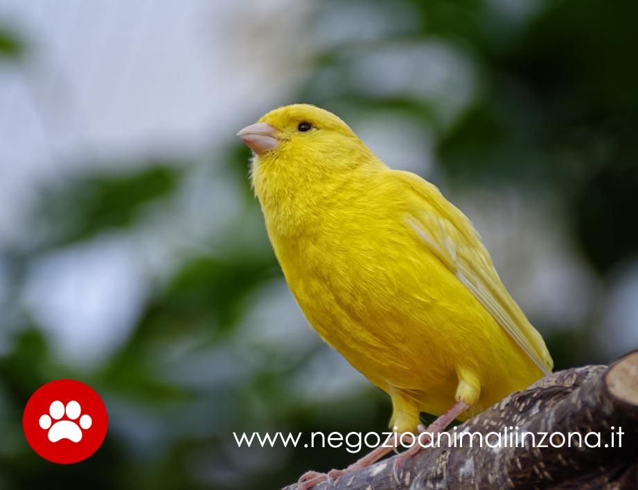Canarino giallo allegro animale da compagnia